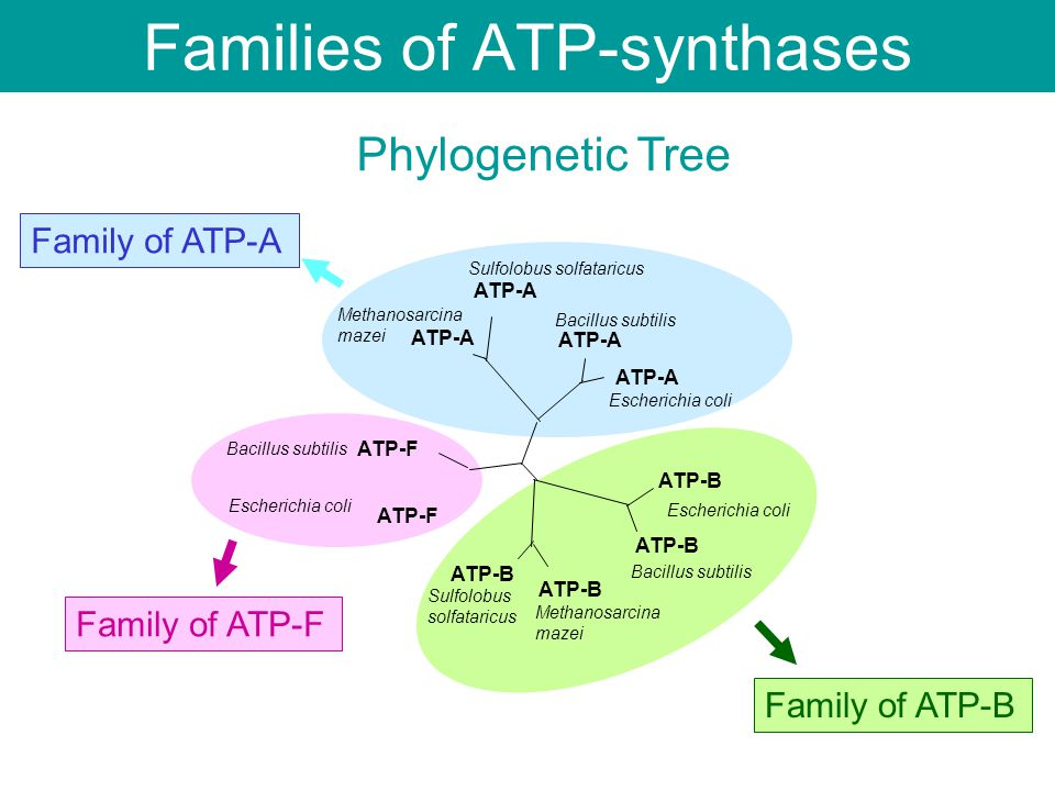 ATP-A ATP-F ATP-B Escherichia coli Bacillus subtilis Escherichia coli Methanosarcina mazei Methanosarcina mazei Sulfolobus solfataricus Sulfolobus solfataricus Family of ATP-A Family of ATP-B Family of ATP-F Phylogenetic Tree