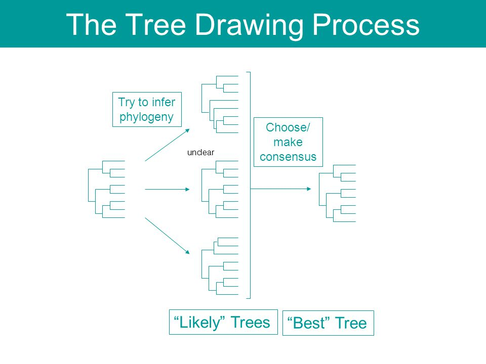 "Try to infer phylogeny ""Likely"" Trees ""Best"" Tree Choose/ make consensus The Tree Drawing Process unclear"