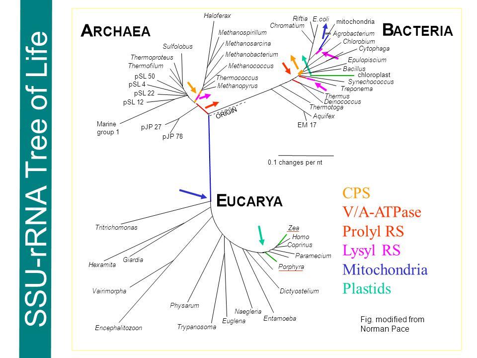 SSU-rRNA Tree of Life Euglena Trypanosoma Zea Paramecium Dictyostelium Entamoeba Naegleria Coprinus Porphyra Physarum Homo Tritrichomonas Sulfolobus Thermofilum Thermoproteus pJP 27 pJP 78 pSL 22 pSL 4 pSL 50 pSL 12 E.coli Agrobacterium Epulopiscium Aquifex Thermotoga Deinococcus Synechococcus Bacillus Chlorobium Vairimorpha Cytophaga Hexamita Giardia mitochondria chloroplast Haloferax Methanospirillum Methanosarcina Methanobacterium Thermococcus Methanopyrus Methanococcus A RCHAEA B ACTERIA E UCARYA Encephalitozoon Thermus EM 17 0.1 changes per nt Marine group 1 Riftia Chromatium ORIGIN Treponema CPS V/A-ATPase Prolyl RS Lysyl RS Mitochondria Plastids Fig.