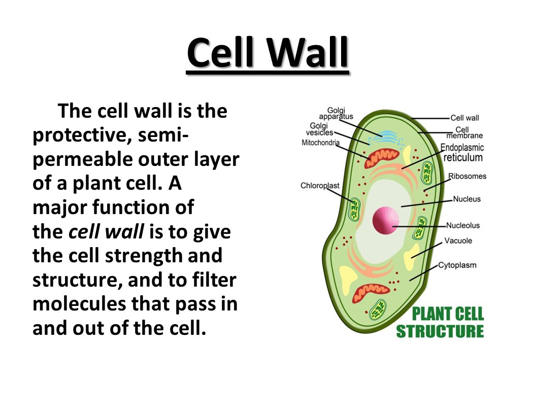 Cell Wall The cell wall is the protective, semi- permeable outer layer of a plant cell.