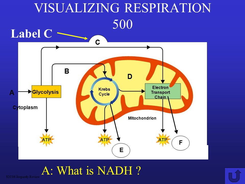 VISUALIZING RESPIRATION 500 A: What is NADH .