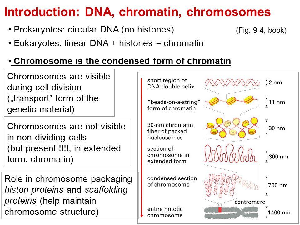 Introduction: DNA, chromatin, chromosomes Prokaryotes: circular DNA (no histones) Eukaryotes: linear DNA + histones = chromatin Chromosome is the cond