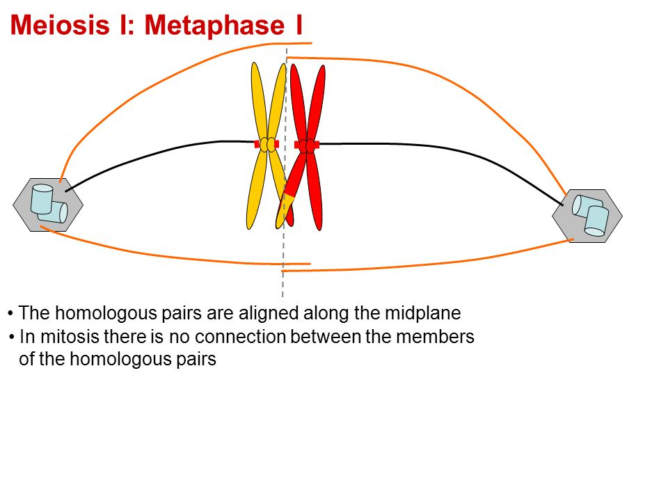 Meiosis I: Metaphase I The homologous pairs are aligned along the midplane In mitosis there is no connection between the members of the homologous pai