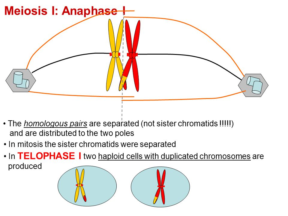 Meiosis I: Anaphase I The homologous pairs are separated (not sister chromatids !!!!!) and are distributed to the two poles In mitosis the sister chro
