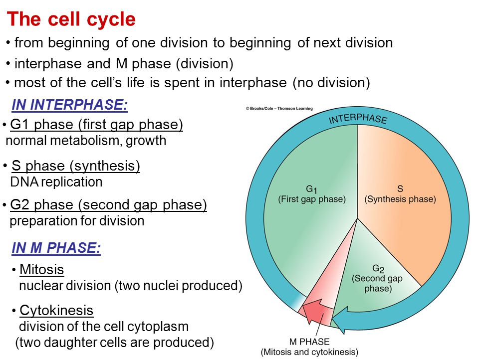 The cell cycle from beginning of one division to beginning of next division interphase and M phase (division) most of the cell's life is spent in inte