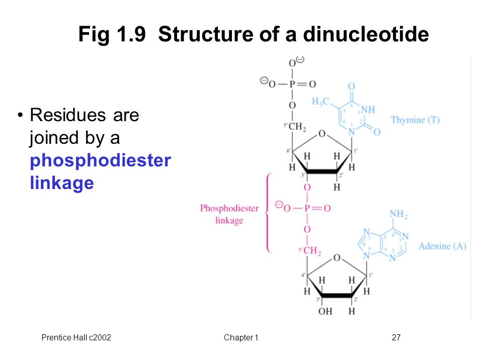 Prentice Hall c2002Chapter 127 Fig 1.9 Structure of a dinucleotide Residues are joined by a phosphodiester linkage