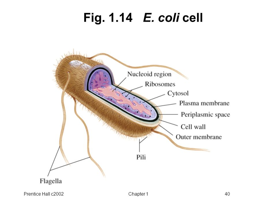 Prentice Hall c2002Chapter 140 Fig. 1.14 E. coli cell