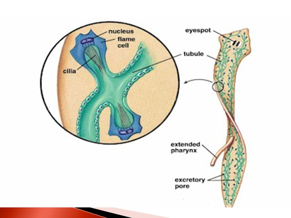  Planarians two strands of branching excretory tubules, open to the outside through the excretory pores flame cells along the tubules.each has a clus