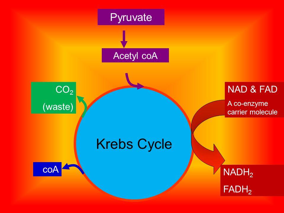 Krebs Cycle Pyruvate Acetyl coA CO 2 (waste) coA NAD & FAD A co-enzyme carrier molecule NADH 2 FADH 2