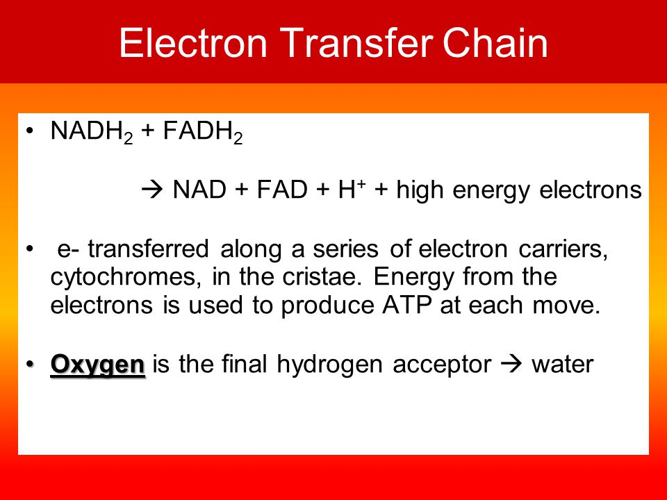 Electron Transfer Chain NADH 2 + FADH 2  NAD + FAD + H + + high energy electrons e- transferred along a series of electron carriers, cytochromes, in the cristae.