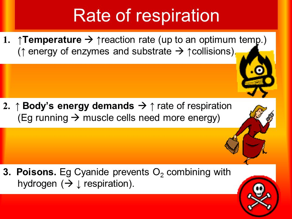 Rate of respiration 1.↑ Temperature  ↑ reaction rate (up to an optimum temp.) ( ↑ energy of enzymes and substrate  ↑ collisions).