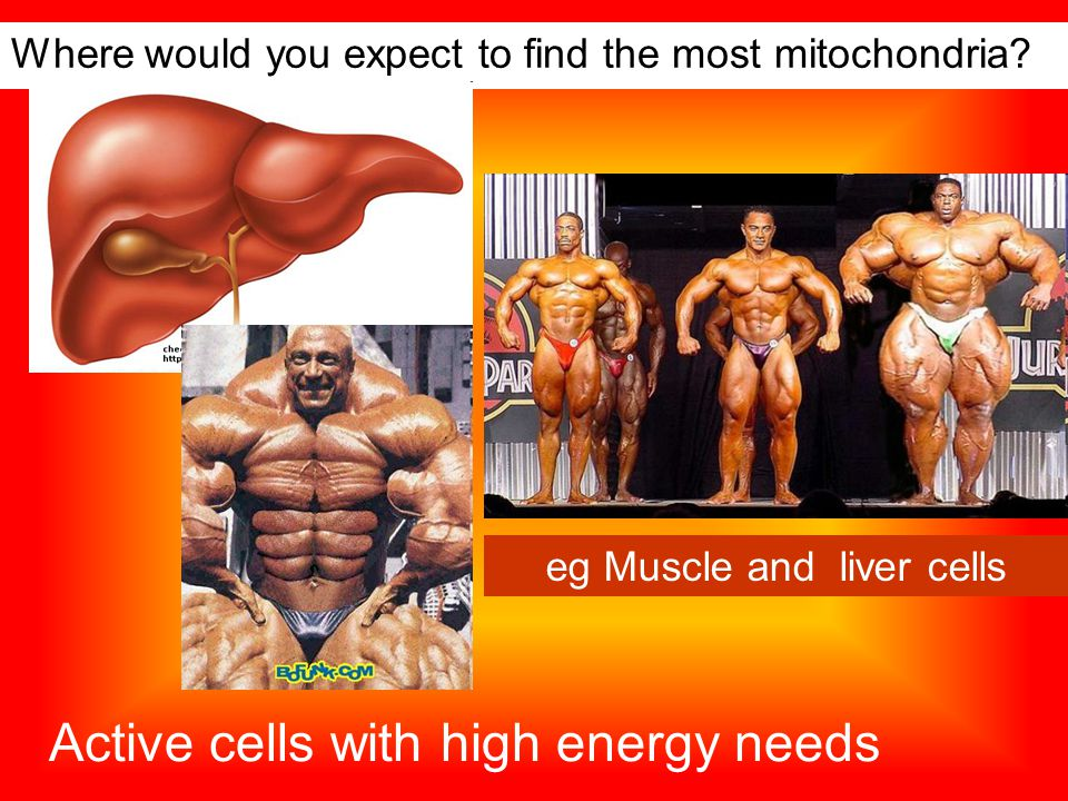 Where would you expect to find the most mitochondria.