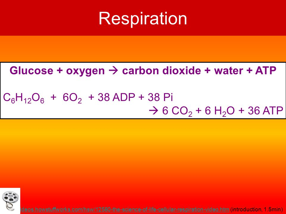 Respiration Glucose + oxygen  carbon dioxide + water + ATP C 6 H 12 O 6 + 6O 2 + 38 ADP + 38 Pi  6 CO 2 + 6 H 2 O + 36 ATP http://videos.howstuffworks.com/hsw/12580-the-science-of-life-cellular-respiration-video.htmhttp://videos.howstuffworks.com/hsw/12580-the-science-of-life-cellular-respiration-video.htm (introduction, 1.5min)