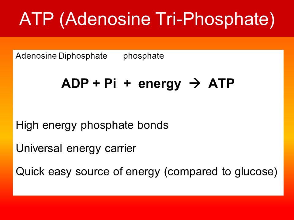 ATP (Adenosine Tri-Phosphate) Adenosine Diphosphate phosphate ADP + Pi + energy  ATP High energy phosphate bonds Universal energy carrier Quick easy source of energy (compared to glucose)