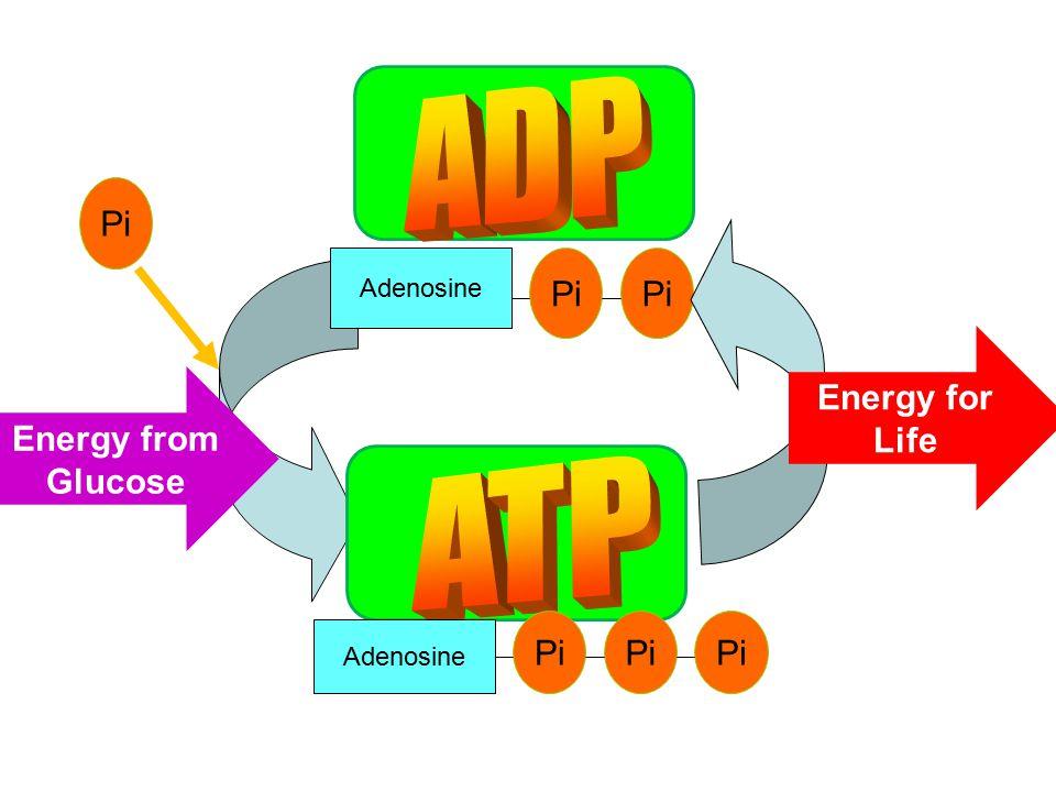 Pi Adenosine Pi Adenosine Pi Energy from Glucose Energy for Life