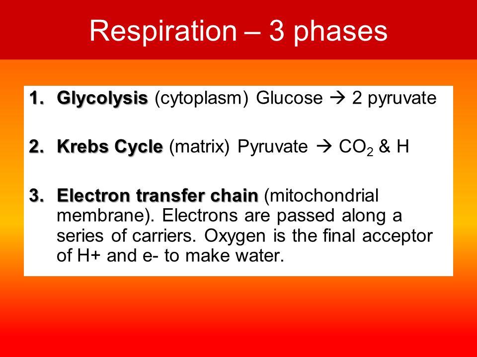 cytoplasmmatrixmembranes GLUCOSE PYRUVATE 2ATP GLYCOLYSIS 2ATP 34ATP OXIDATIVE PHOSPHORYLATION CO 2 NADH 2 NAD FAD NADH 2 FADH 2 KREB'S CYCLE NAD O2O2 H2OH2O ELECTRON TRANSPORT CHAIN