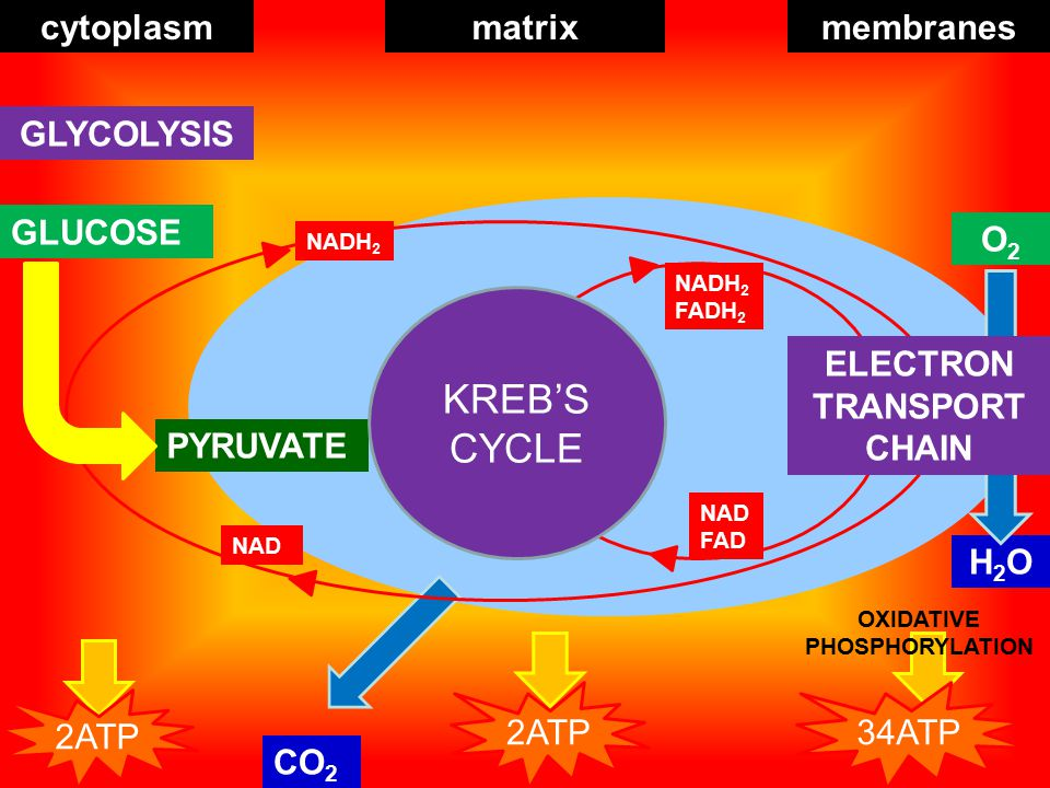 QUICK QUIZ 1.Cellular respiration takes place in the ____ 2.Glucose is broken down into ____ during ____ 3.____ is small enough to enter the mitochondrion 4.____ in the matrix catalyse the reactions of the ____ cycle 5.The inner mitochondrial membrane is folded to increase ____ 6.NAD and FAD carry ____ to the electron transport chain 7.____ is the universal energy carrier 8.Most ATP is produced in the ____ stage 9.____ respiration yields 34-38 ATP 10.____ respiration occurs in the absence of sufficient oxygen 11.Yeast undergoes ____ under anaerobic conditions 12.Animals produce ____ under anaerobic conditions Back to menu Answers