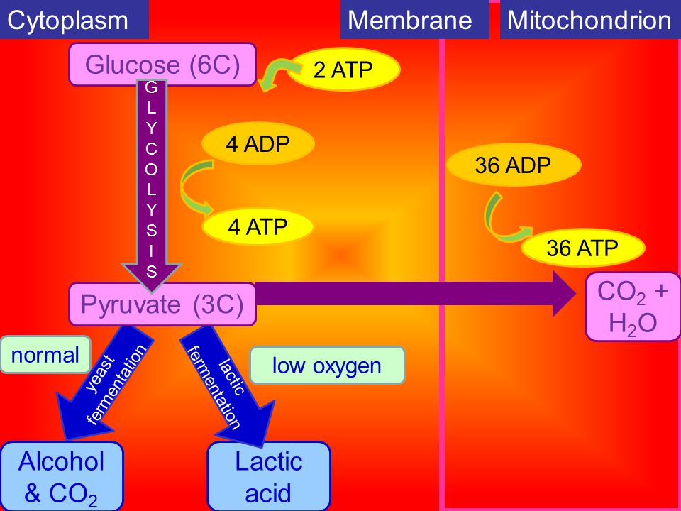 CytoplasmMembraneMitochondrion Glucose (6C) Alcohol & CO 2 Lactic acid yeast fermentation lactic fermentation Pyruvate (3C) low oxygen normal 2 ATP 4 ADP 4 ATP CO 2 + H 2 O 36 ADP 36 ATP GLYCOLYSISGLYCOLYSIS