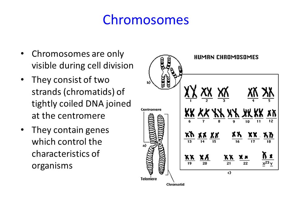 Chromosomes Chromosomes are only visible during cell division They consist of two strands (chromatids) of tightly coiled DNA joined at the centromere