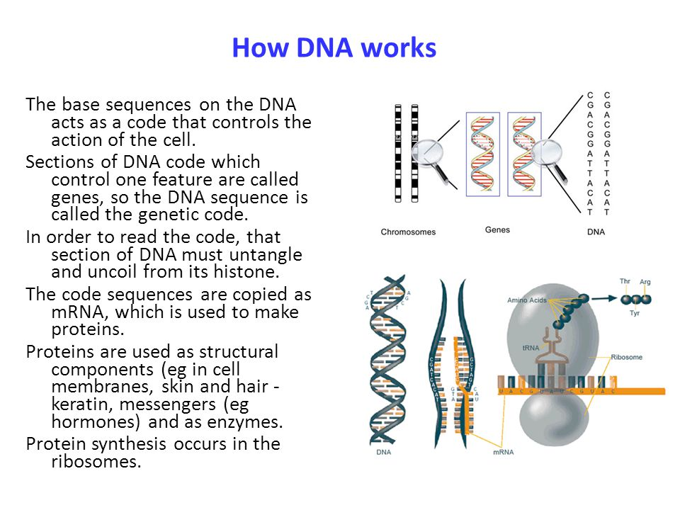 How DNA works The base sequences on the DNA acts as a code that controls the action of the cell. Sections of DNA code which control one feature are ca