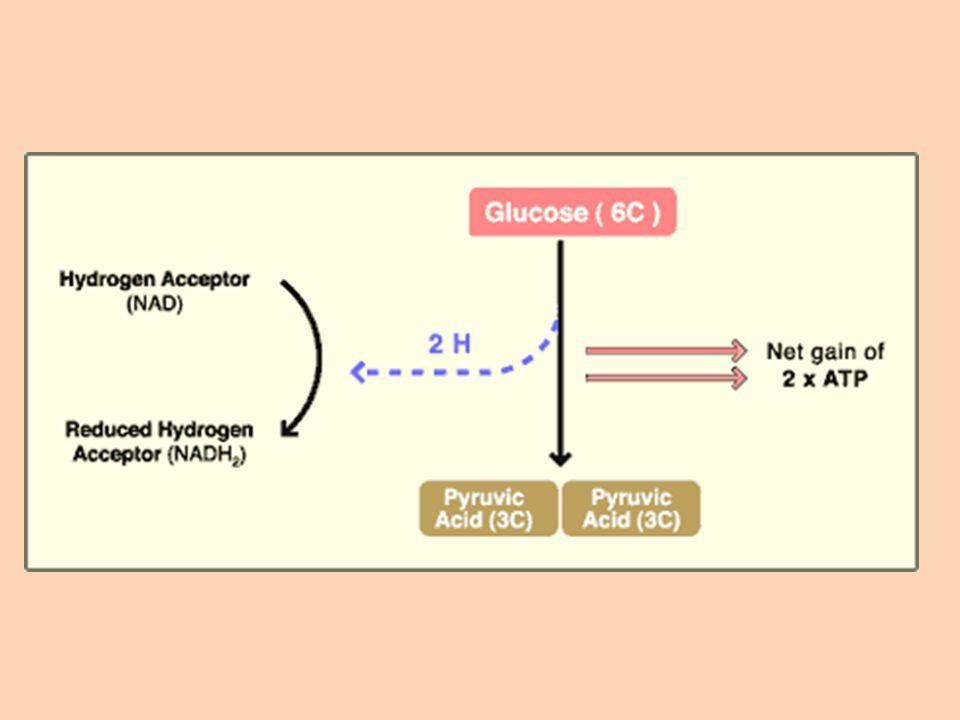 2.Krebs Cycle Starting Molecule = 2 pyruvate molecules.