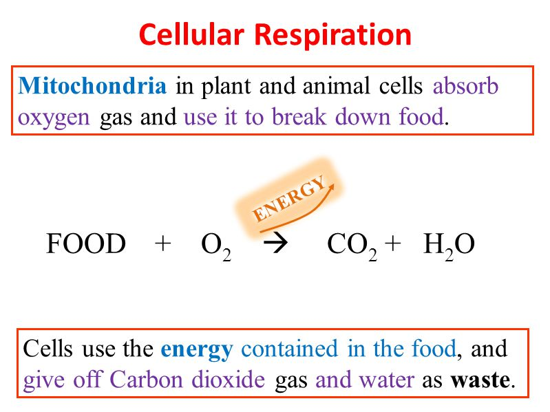 Mitochondria: breaks down food for energy and stores some for later access (cellular respiration); More than one in each cell.