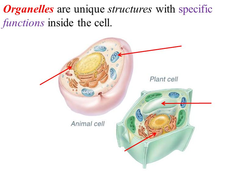 The Cell Theory can be summarized as: 1.All living things are made of one or more cells.
