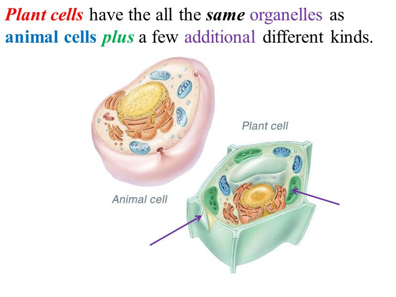 Organelles are unique structures with specific functions inside the cell.