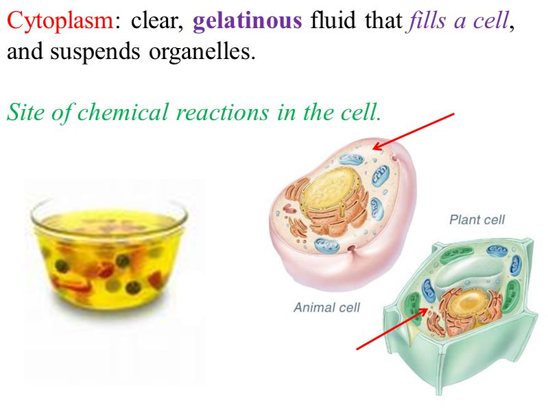 * Cell Wall: rigid structure located outside the plasma membrane of plants, fungi and most bacteria.