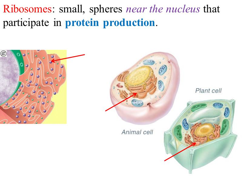 Ribosomes: small, spheres near the nucleus that participate in protein production.