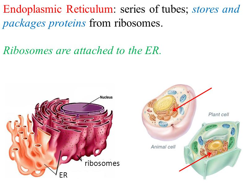 Endoplasmic Reticulum: series of tubes; stores and packages proteins from ribosomes.
