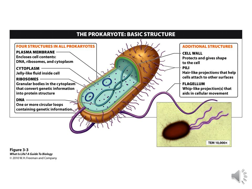 3.2 Prokaryotic cells are structurally simple, but there are many types of them.