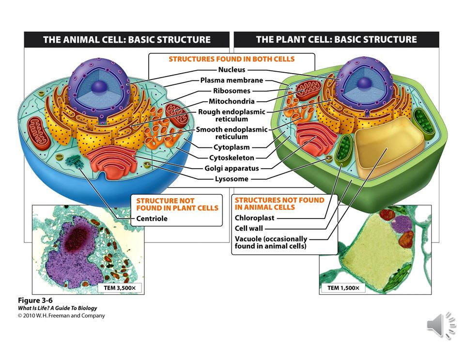 Eukaryotic cells have organelles.