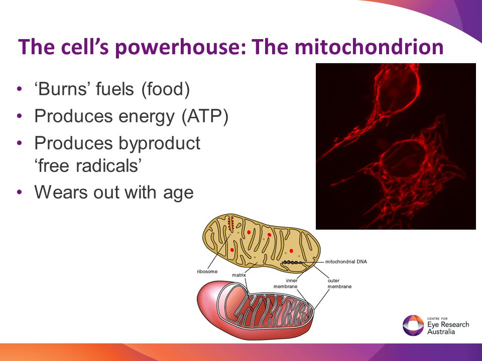 'Burns' fuels (food) Produces energy (ATP) Produces byproduct 'free radicals' Wears out with age The cell's powerhouse: The mitochondrion
