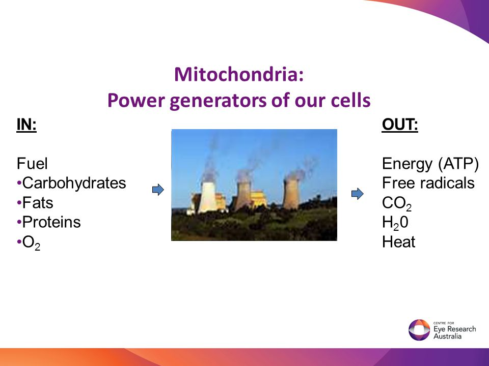 Mitochondria: Power generators of our cells IN: Fuel Carbohydrates Fats Proteins O 2 OUT: Energy (ATP) Free radicals CO 2 H 2 0 Heat