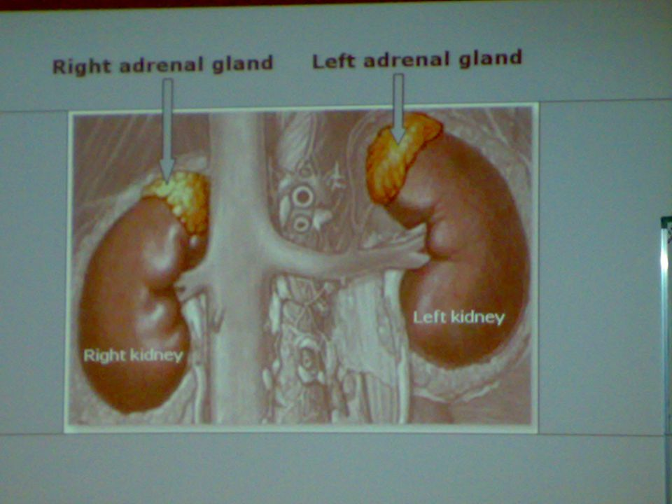 ADRENAL GLAND  CONSISTS OF :- 1.OUTER CORTEX 2.INNER MEDULLA