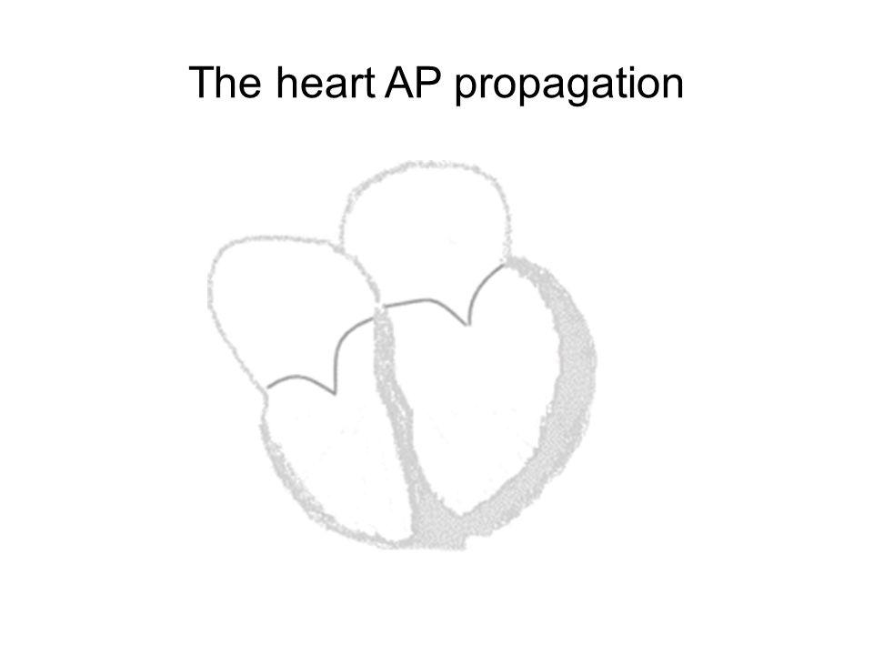 The heart AP propagation