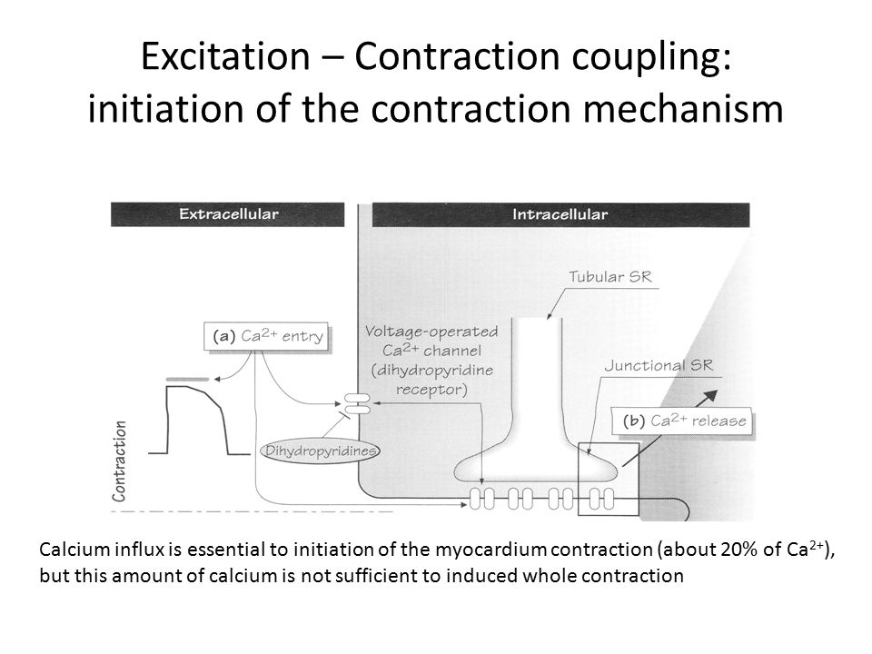 Excitation – Contraction coupling: initiation of the contraction mechanism Calcium influx is essential to initiation of the myocardium contraction (about 20% of Ca 2+ ), but this amount of calcium is not sufficient to induced whole contraction