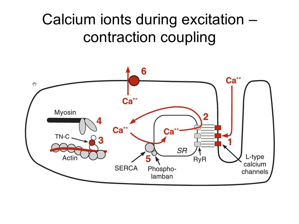 Calcium ionts during excitation – contraction coupling