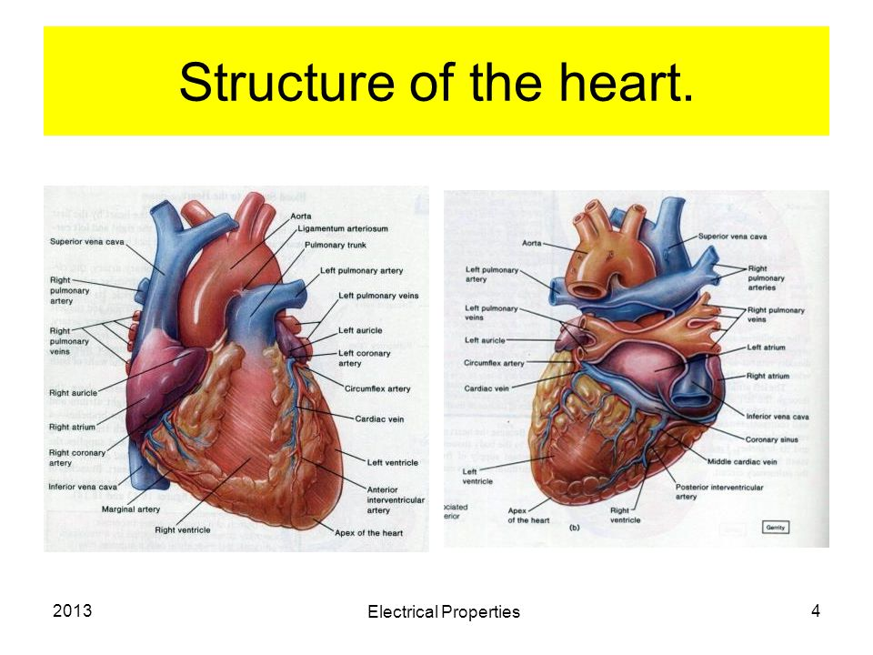 2013 Electrical Properties 4 Structure of the heart.