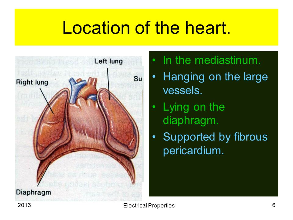 2013 Electrical Properties 6 Location of the heart. In the mediastinum. Hanging on the large vessels. Lying on the diaphragm. Supported by fibrous per