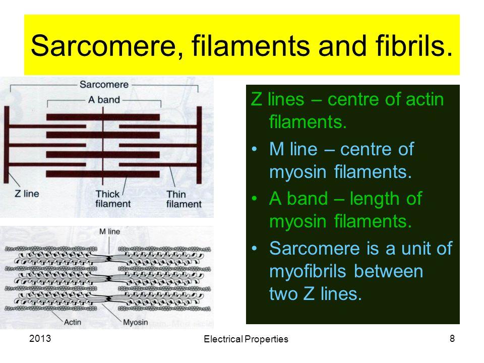 2013 Electrical Properties 8 Sarcomere, filaments and fibrils. Z lines – centre of actin filaments. M line – centre of myosin filaments. A band – leng