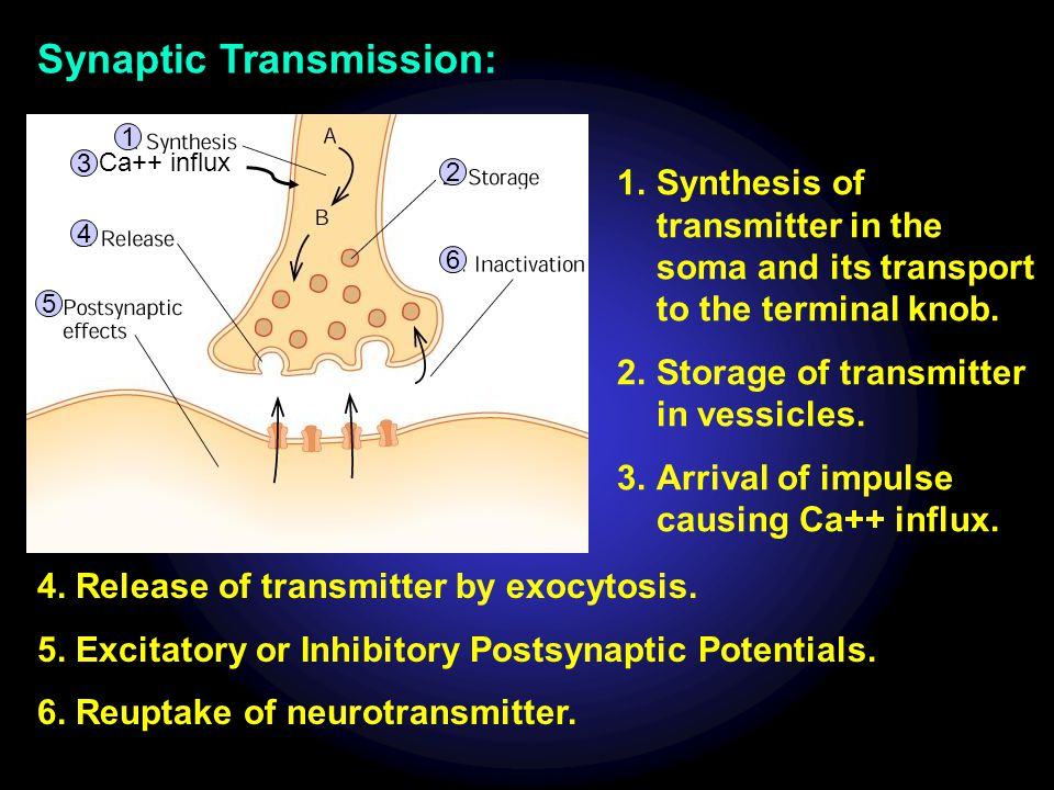 Ca++ influx 1 2 3 4 6 5 Synaptic Transmission: 1.Synthesis of transmitter in the soma and its transport to the terminal knob. 2.Storage of transmitter