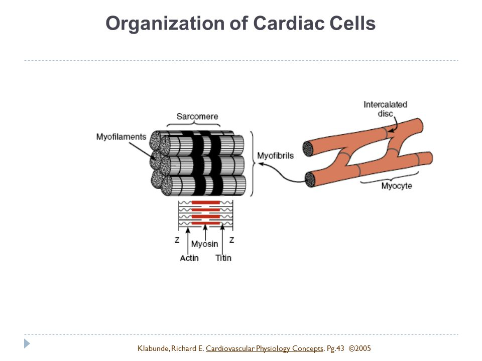 Organization of Cardiac Cells Klabunde, Richard E. Cardiovascular Physiology Concepts. Pg.43 ©2005