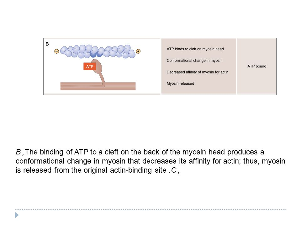B, The binding of ATP to a cleft on the back of the myosin head produces a conformational change in myosin that decreases its affinity for actin; thus