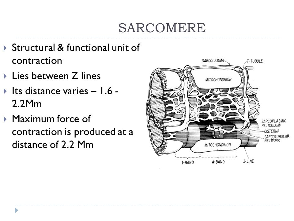 SARCOMERE  Structural & functional unit of contraction  Lies between Z lines  Its distance varies – 1.6 - 2.2Mm  Maximum force of contraction is p
