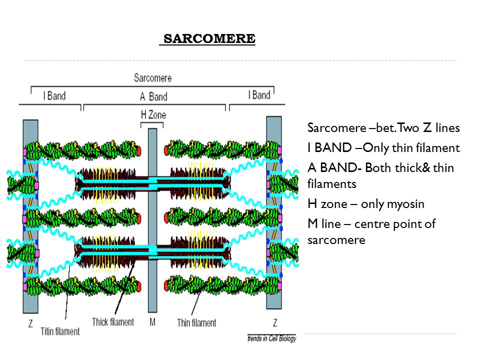 SARCOMERE  Sarcomere –bet. Two Z lines  I BAND –Only thin filament  A BAND- Both thick& thin filaments  H zone – only myosin  M line – centre poi
