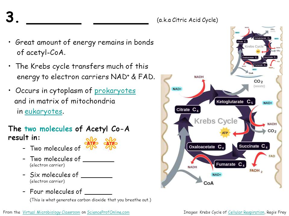 3. ______ ______ (a.k.a Citric Acid Cycle) Great amount of energy remains in bonds of acetyl-CoA. The Krebs cycle transfers much of this energy to ele