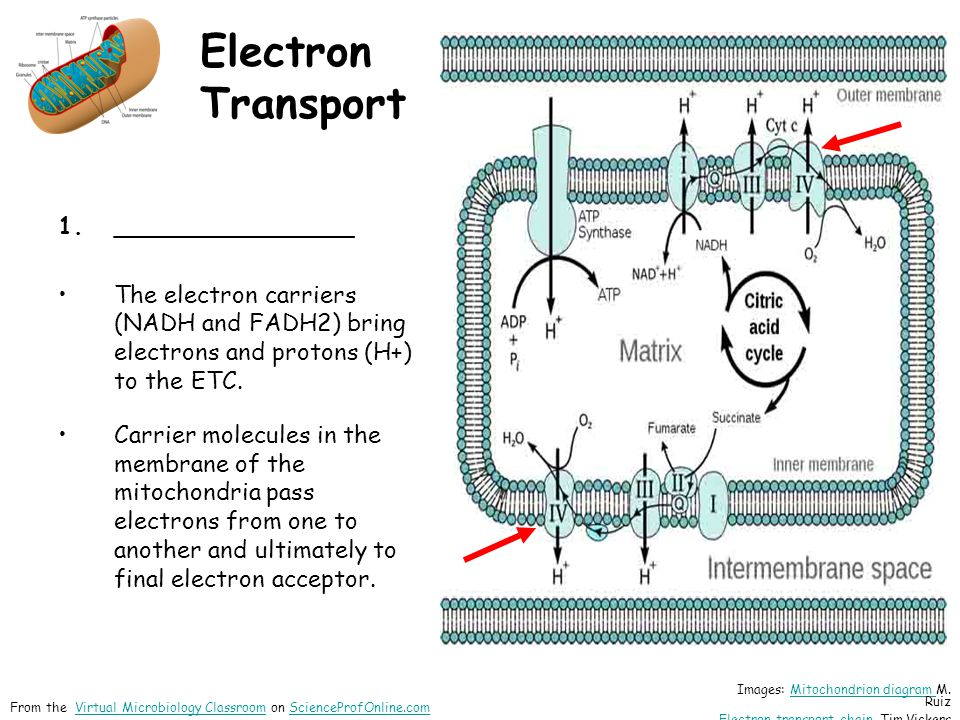 Electron Transport 1.________________ The electron carriers (NADH and FADH2) bring electrons and protons (H+) to the ETC.
