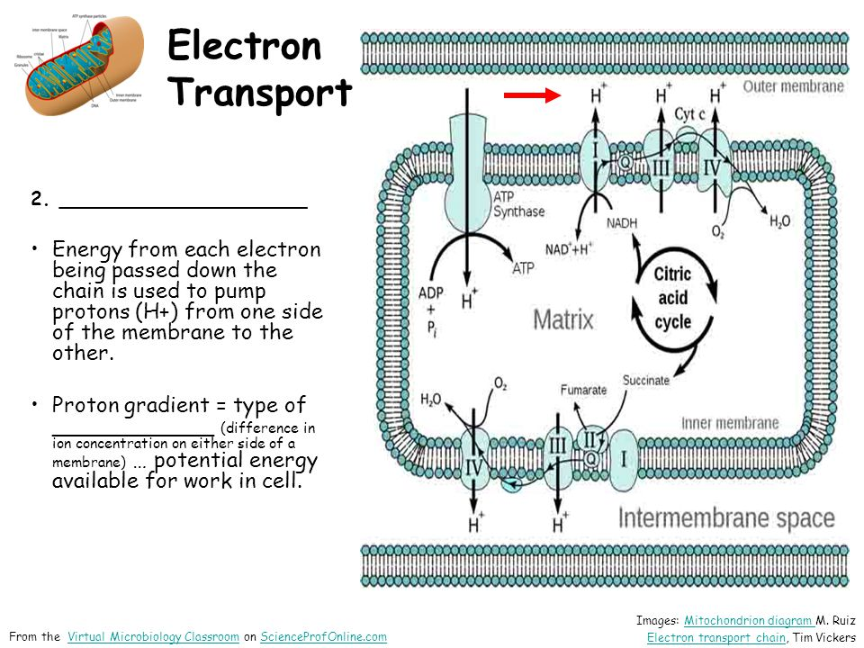 Electron Transport 2. _____________________ Energy from each electron being passed down the chain is used to pump protons (H+) from one side of the me